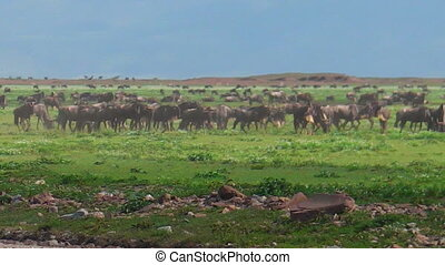 Blue wildebeests running in Ndutu