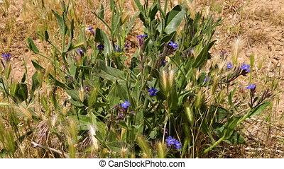Blue wildflower in Northern Iran
