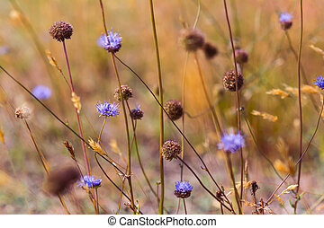 Blue wildflowers in the dry meadow