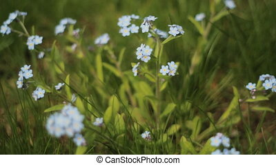 Blue wildflowers. - Small blue forget-me-nots wildflowers on...