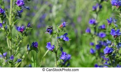 Blue wildflowers with colorful beetles in Russia - Blue...