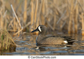 Blue Winged Teal - A drake Blue winged teal in the spring