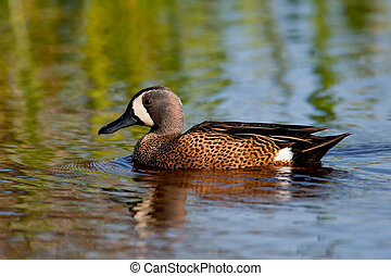 Blue-winged Teal - Blue-winged teal drake swimming in water...