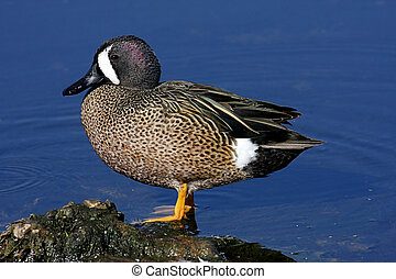 Blue-winged Teal (anas discors) against blue water in the...