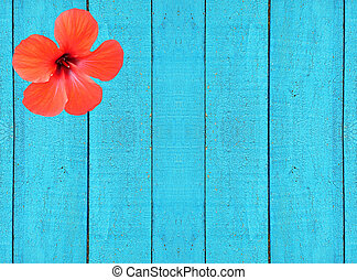 Blue wooden fence with red hibiscus flower. Background.