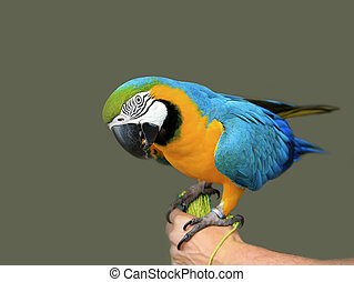 Blue-yellow macaw parrot on the hand. Isolated on the grey