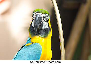 Blue Yellow Macaw parrot