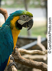 Blue yellow parrot macaw.