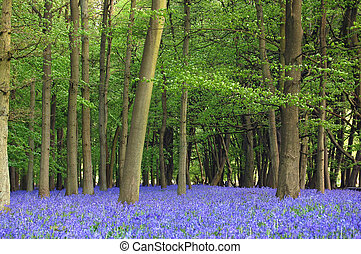 Bluebells cover the floor of a forest with a spring display