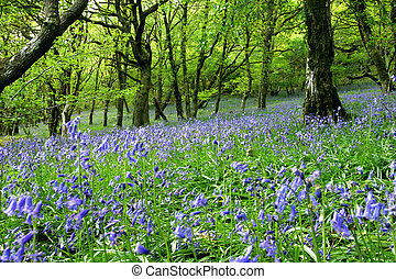 Bluebell Fantasy Land - An ancient bluebell forest with oak...