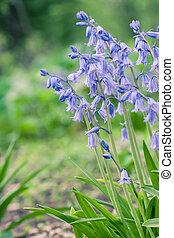 Bluebell Flowers