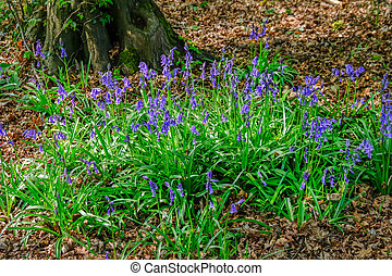 Bluebell patch closeup in the woods
