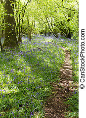 Bluebell Path - Path winding through a carpet of bluebells...