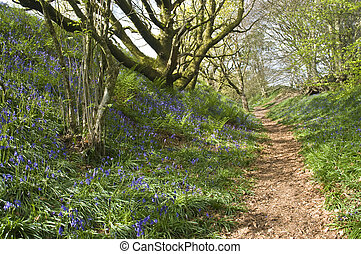 bluebell path - woodland path through a bluebell lined...