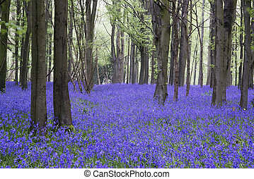 bluebell, primavera, bosque, vibrante, paisaje, alfombra