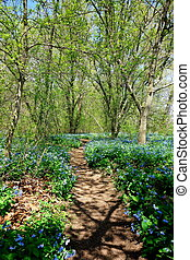 Bluebell trail-4 - A trail through the woods along the...