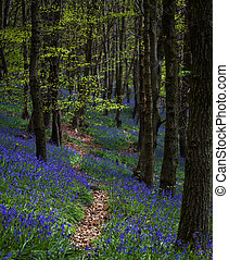 Bluebell trail at Margam woods - A path through the...