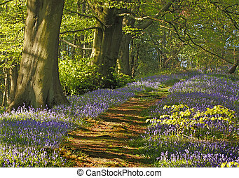 Bluebell Wood - A carpet of bluebells spreads through the...