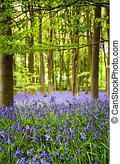 Bluebell wood - A carpet of bluebells in the woods,...