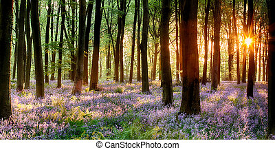 Bluebell wood sunrise - Bluebell woods in early morning...