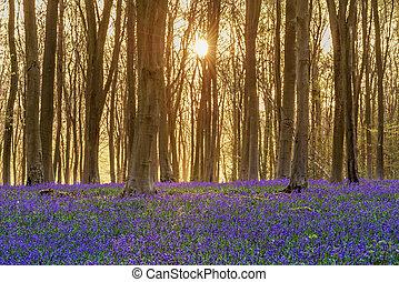 Bluebell woodland sunrise - Sunlight bursting through the...