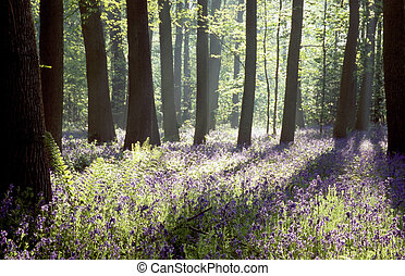 Early morning sunshine in bluebell woods