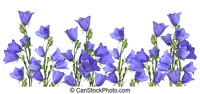 Bluebells border - Growing blue bells isolated on white...