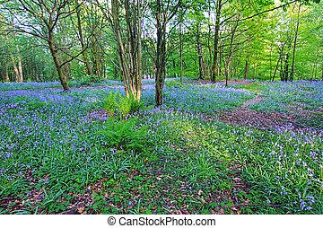 bluebells, bosque, en, primavera, reino unido