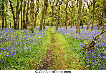 Bluebells Carpet and Path - Footpath through the middle of a...