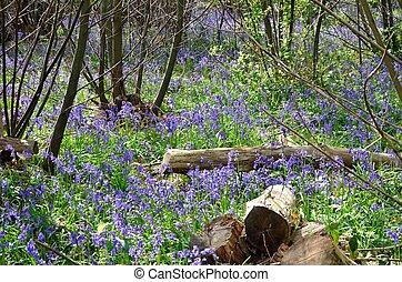 bluebells, en, bosque