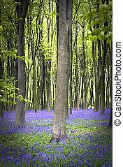 bluebells, en, el, bosque