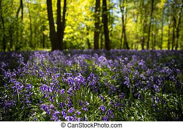 bluebells, en, flor lleno, en, el, bosque