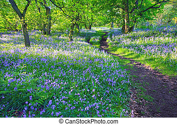 Bluebells forest in Springtime, UK - Bluebells forest in...