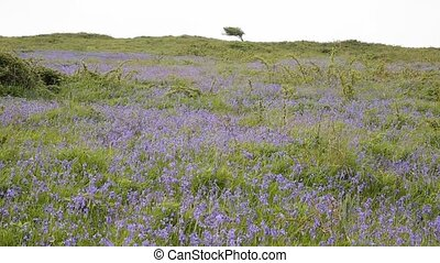 Bluebells in a field in spring