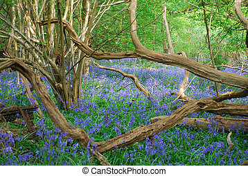 bluebells in forest - carpet of bluebells in spring, in...