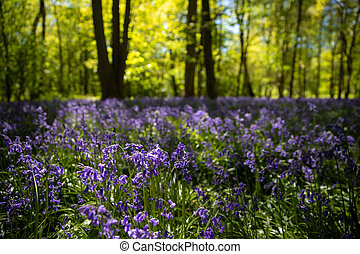 Bluebells in full bloom in the woods