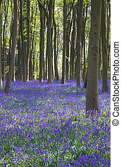 Bluebells in Itchen Woods - Bluebells and Beech trees in...