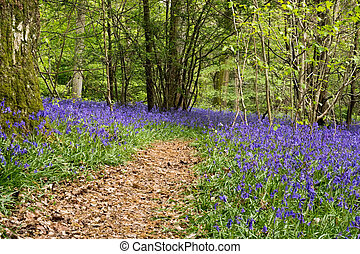 Bluebells in Staffhurst Woods near Oxted Surrey