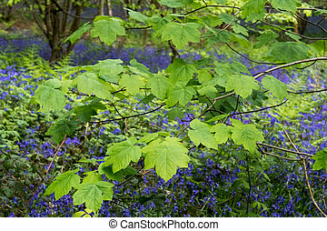 Bluebells in Staffhurst Woods near Oxted Surrey