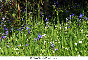 Bluebells in the Grass - Bluebells and daisies in the grass...