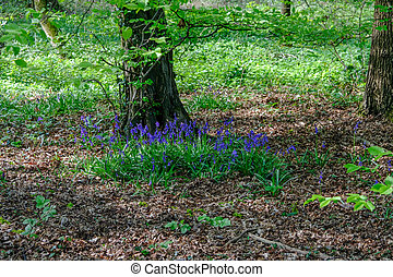 Bluebells in the wood in springtime.