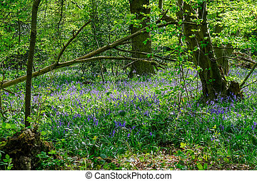 Bluebells in the woods in springtime