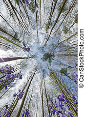 Bluebells looking up
