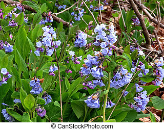 Bluebells on the banks of the Potomac River
