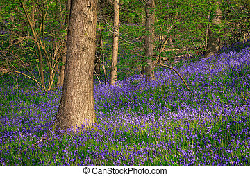 Bluebells - Beautiful spring forest with carpet of bluebells