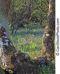 bluebells, (scilla, non-scripta).