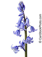 Bluebells - Spring bluebells, in macro, isolated on white...