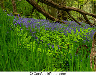 Bluebells - The carpet of intense blue under the opening...