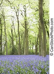 bluebells, wachsen, in, waldland