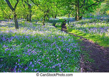 bluebells, wald, in, frühling, vereinigtes königreich
